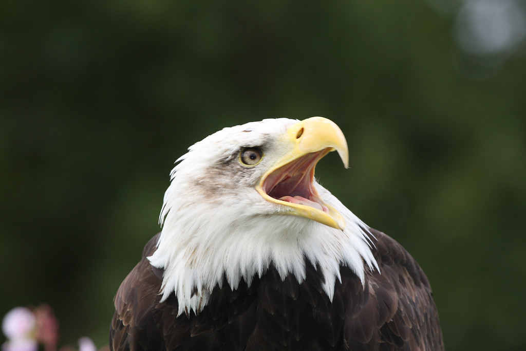 Bald Eagle head view