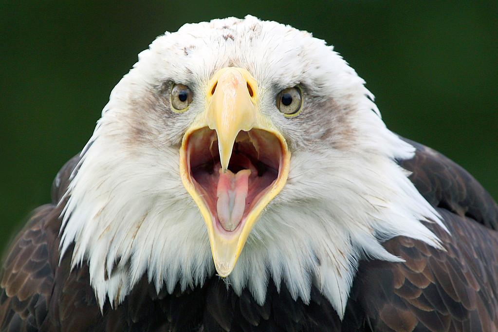 Bald Eagle - Cry