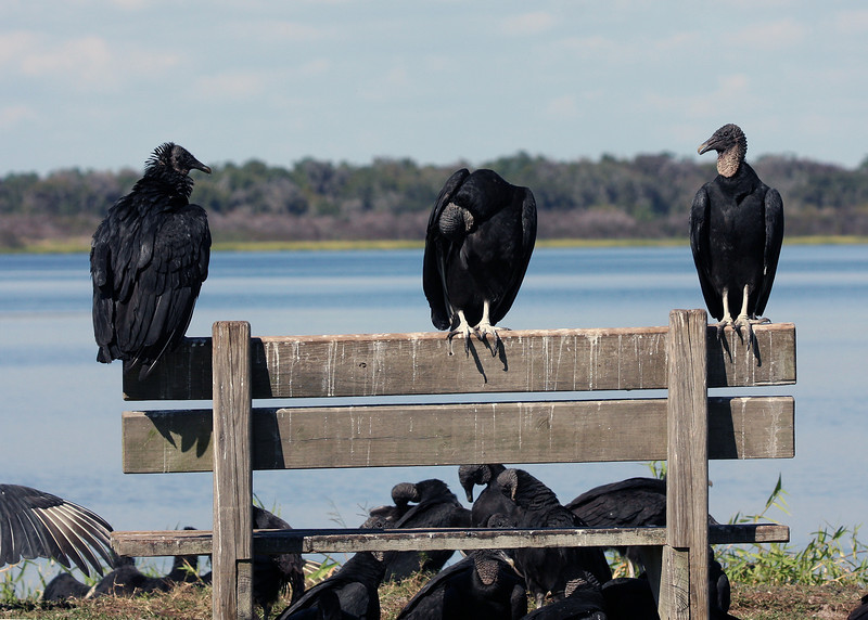 Turkey Vultures on a bench