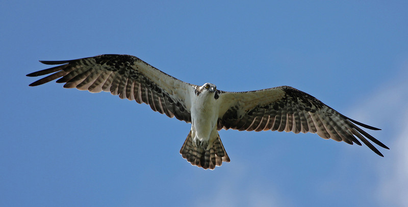 Osprey Flight