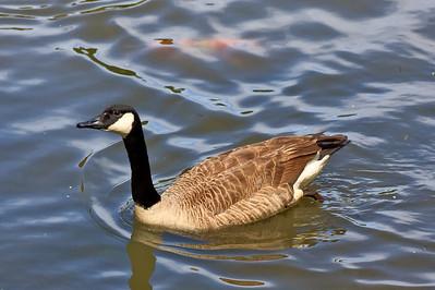Meadowlark_-100515_22