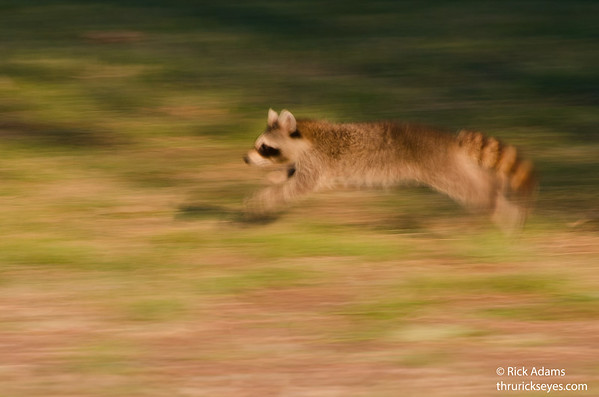 Raccoon Blur