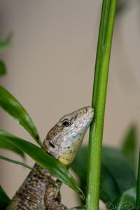 Lizard-7