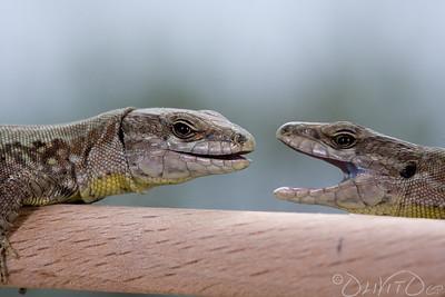Lizard-5