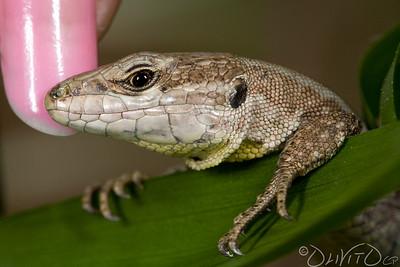 Lizard-18