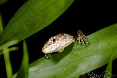 Lizard-21