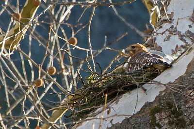 Red Shouldered Hawk nest