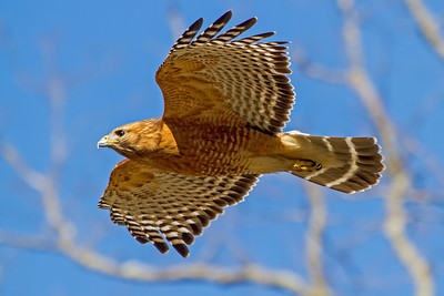 Red Shouldered Hawk coming in for a landing