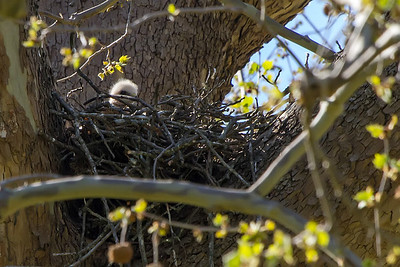Red Shouldered Hawk chick peaking over the nest