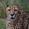 Male Cheetah- The Houston Zoo