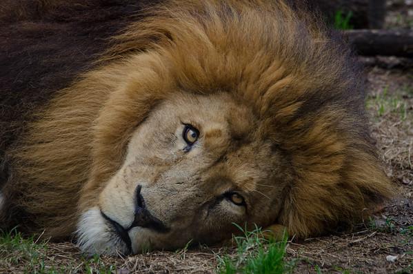 Houston Zoo Male Lion, Jonathan