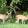 Wild White-Tail Deer Fawns in Texas