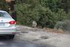 USA 2011 - Coyote in Yosemity National Park, California