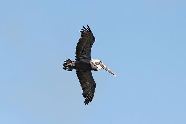 USA 2011 - San Francisco - Pelican