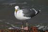 USA 2011 - San Francisco - Seagull