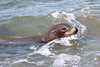 USA 2011 - San Francisco - Sea Lion
