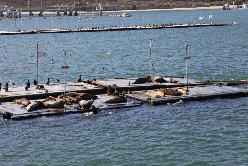 USA 2011 - Sea lions in San Diego, California