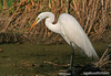 great egret, effie yeaw  ,nature preserve