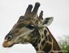 giraffe with bird at Mokolodi Game preserve, near Gaborone, Botswana