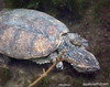 Aligator snapping turtle.<br /> Swimming with the manatee, Crystal river, Florida.