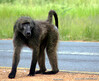 Baboon on the roadside near Gaborone.