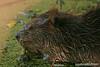Beaver, effie yeaw  ,nature preserve