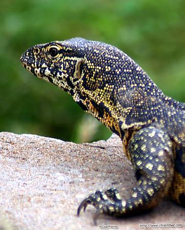 Monitor lizard, Mokolodi, Botswana.