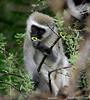 Vervet monkey, Mokolodi, Botswana