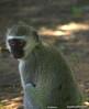 Vervet monkey at the Botanical garden, Gaborone.