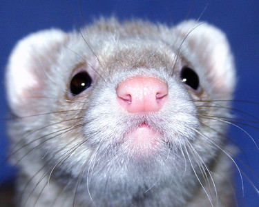 Close-up of a ferret
