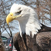 This eagle ( Is blind)  has been in captivity since 1990's and cannot survive if set back to the Wild.