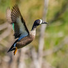 Blue Wing Teal Takes Flight (M)