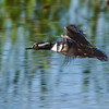 Hooded Merganser in Flight (M)