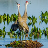 Sandhill Cranes Guarding Their Nest