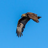 Snail Kite with a Snack