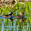 Hooded Mergansers (M &  F)