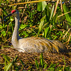 Sandhill Crane Sitting Her Nest