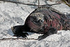 Marine iguana (Amblyrhynchus cristatus).<br /> <br /> This one is shedding patches of skin.  These iguanas do molt, but I don't know whether this one actually was molting, and if so whether it was early or late in the process.  The white around its face is salt.  The iguanas are able to expel excess salt from the marine algae they feed on, ejecting it through nasal glands.<br /> <br /> Coloration in marine iguanas varies from island to island and also varies during the breeding season.  The most colorful of these iguanas are found on the southern islands, of which Isla Espanola is the most southern.<br /> <br /> Gardner Bay, Isla Espanola,<br /> Galapagos Islands.