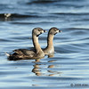 Ring-billed grebe pair