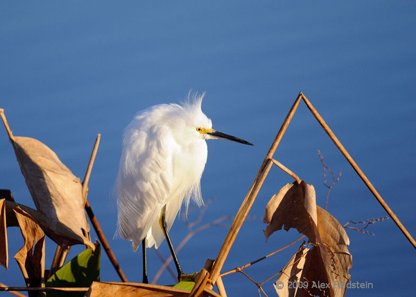 Snowy egret on a cold morning