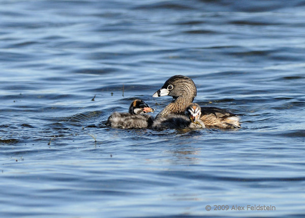 Pied-billed grebe family