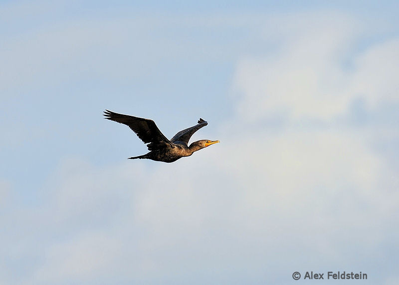 Triple-breasted cormorant
