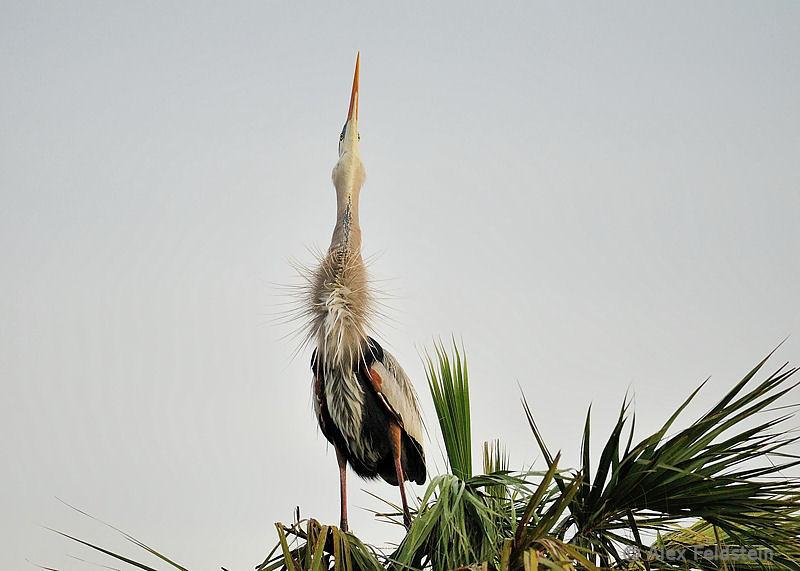 Great blue heron (female)