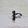 Ring-billed duck