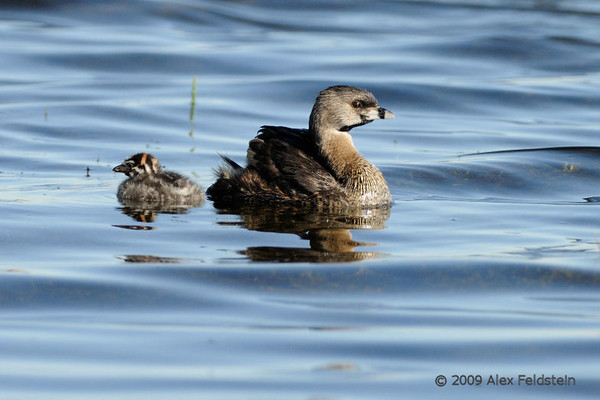 Pied-billed grebe couple and their and babies