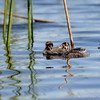 Ring-billed grebes