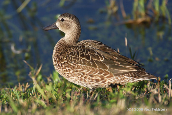 Blue-winged teal (female)