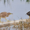 Young Black Crowned Night Heron and common moorhen