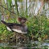 Female merganser on nest