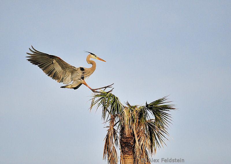 Great blue heron (male)